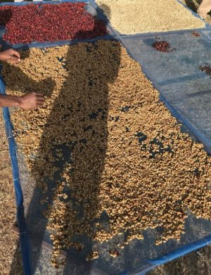 The Ins and Outs of Quality Coffee Processing